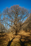 Very large oak trees Stock Images