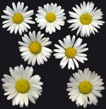 MargueriteBlossoms Royalty Free Stock Photo