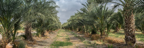 Very large panoramic view of palm trees grove at northern israel Royalty Free Stock Photo