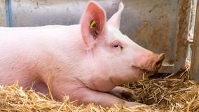 Very large pig on hay. And straw at pig show Royalty Free Stock Images