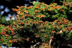 Monarch Butterfly Swarm Cluster on Juniper Tree