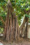 A very large rubber plant with strong roots growing in a city park royalty free stock photos