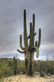 Very large Saguaro Cactus in the Sonora Desert. A Very large Saguaro Cactus in the Sonora Desert Stock Photo