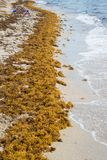 Very large strip of yellow seaweed along sandy beach near the oc stock image