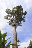 A very large tree with beehive. royalty free stock photo