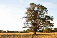 Very large tree in a paddock in rural Victoria Royalty Free Stock Images