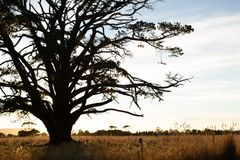 Very large tree in a paddock in rural Victoria Stock Photos