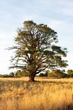 Very large tree in a paddock in rural Victoria Royalty Free Stock Photos