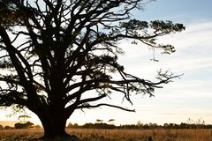 Very large tree in a paddock in rural Victoria Royalty Free Stock Photography