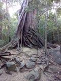 An ancient large tree in ritigala , sri lanka royalty free stock image