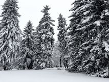 Large Trees Covered in Snow in Park with Bench. Very Large trees in a city park in Denver Colorado are covered in snow from a recent snow storm. In the distance royalty free stock photo