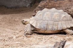 Very large and very heavy turtle Royalty Free Stock Photography