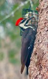 Woodpecker on the tree Royalty Free Stock Photography