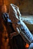 Very little agile lizard Agama who sleeps all day. stock images