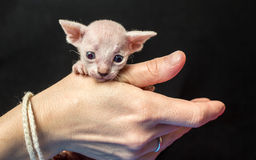 Very little cute hairless Sphynx kitten sitting on a human hand Royalty Free Stock Photography