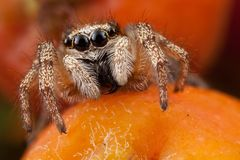 Jumping spider and rowan fruit. Very little jumping spider on the orange rowan fruit Stock Images