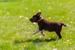 Very little puppy is running happily with floppy ears trough a garden with green grass. Cute puppy dog against foliage sunset blurred bokeh background. Border royalty free stock image