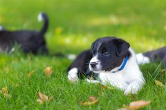 Very little puppy is running happily with floppy ears trough a garden with green grass. Cute puppy dog against foliage sunset blurred bokeh background. Border stock photography