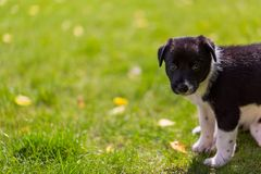 Very little puppy is running happily with floppy ears trough a garden with green grass. Cute puppy dog against foliage sunset blurred bokeh background. Border stock photo