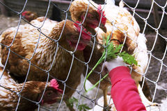 Very little 1-2 Year old child hand feeding chickens Fresh grass. Caring for animals. royalty free stock images