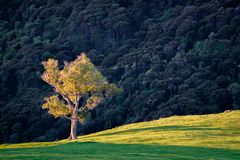 Alone tree on hill slope royalty free stock photo