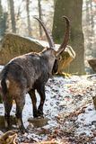 Very long horned Ibex in front of stony Background with snow Stock Photos