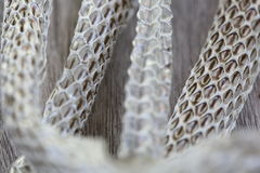 Very Long White Shedding Snake Skin on Wooden Floor Royalty Free Stock Image