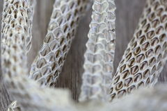 Very Long White Shedding Snake Skin on Wooden Floor Royalty Free Stock Photos