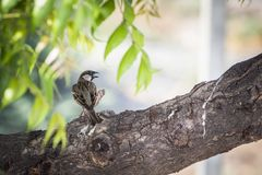 The most Beautiful Lovely Little Sparrow Bird Stock Image