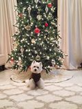 West Highland Terrier. Dog posing in front of a christmas tree royalty free stock photo