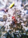 Very metallic ants. This ant is very metallic Stock Photo