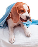 Very much sick dog  on  white background Stock Image