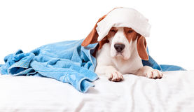 Very much sick dog  on  white background Stock Photo