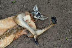 Very muscular wild red kangaroo lying with hand up Royalty Free Stock Photo