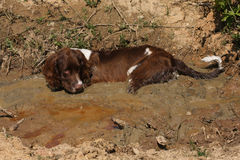 A very naughty but cute, young English Springer Spaniel dog, laying down in a muddy bog, cooling down on a hot day. Royalty Free Stock Photos