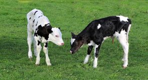 Very new Holstein twins in the meadow royalty free stock photos