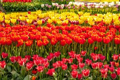 Very nice and beautiful tulip like a bell in the foreground royalty free stock image