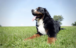 Very nice Bernese Mountain Dog in the park Stock Images
