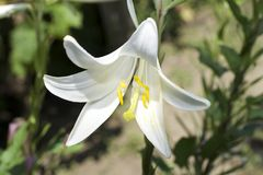 Very nice white lilly in my garden Royalty Free Stock Photos