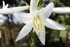 Very nice white lilly in my garden Royalty Free Stock Photography
