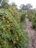 Very nice  bitter gourd plants in rural areas. Bitter gourd plants in rural areas looks so beautiful during morning time stock images