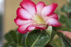 Very pretty colorful adenium in my garden Stock Photography