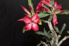 Very nice colorful adenium in my garden Royalty Free Stock Photos