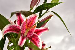 Very nice colorful big lilly royalty free stock image