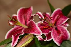 Very nice colorful big lilly royalty free stock photos