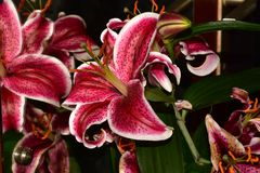 Very nice colorful big lilly stock images