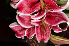 Very nice colorful big lilly royalty free stock images