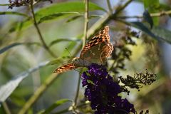 Beautiful colorful butterfly close up in my garden Royalty Free Stock Image