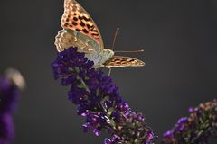 Beautiful colorful butterfly close up in my garden Stock Images