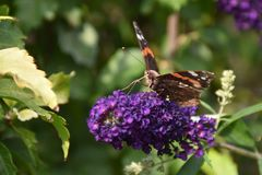 Beautiful colorful butterfly close up in my garden Stock Photos